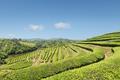 beautiful tea plantation in sunny spring - PhotoDune Item for Sale