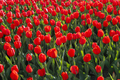 Beautiful red tulips natural background - PhotoDune Item for Sale