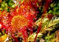 Sundew (drosera rotundifolia) insectivorous sticky plant - PhotoDune Item for Sale