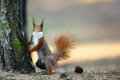 Red squirrel in the mask - PhotoDune Item for Sale