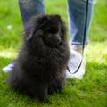 Black pomeranian spitz on a background of green grass - PhotoDune Item for Sale