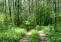 Road in a birch forest - PhotoDune Item for Sale