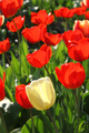 Beautiful bright tulips - PhotoDune Item for Sale