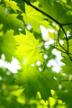 Branch of green maple - PhotoDune Item for Sale