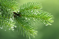 Pine branch with raindrops - PhotoDune Item for Sale