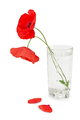 Poppies in a glass - PhotoDune Item for Sale