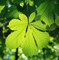 Chestnut leaf - PhotoDune Item for Sale