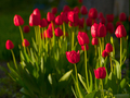 Blooming red tulips in spring sunny evening - PhotoDune Item for Sale