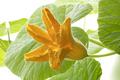 Fresh yellow pumpkin flower close up - PhotoDune Item for Sale