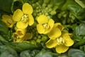 Flowering bok choy close up - PhotoDune Item for Sale