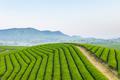 beautiful scenery of the tea farm - PhotoDune Item for Sale