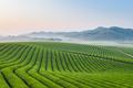 tea farm landscape - PhotoDune Item for Sale