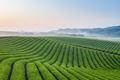 tea plantation in dawn - PhotoDune Item for Sale