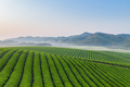 tea plantation in early morning - PhotoDune Item for Sale