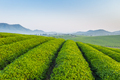 tea farm in the early morning - PhotoDune Item for Sale