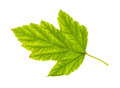 back side of yellowing green leaf of ninebark - PhotoDune Item for Sale
