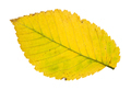 back side of fallen yellow leaf of elm tree - PhotoDune Item for Sale
