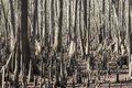 Forest of bald cypress trees, Taxodium Distichum, along the Suwanee River in Florida, USA. - PhotoDune Item for Sale