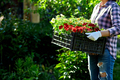 Florist hold box full of petunia flowers. - PhotoDune Item for Sale