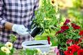 Woman hand planting flowers petunia, Gardener with flower pots tools. - PhotoDune Item for Sale
