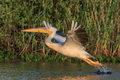 white pelican in Danube Delta, Romania - PhotoDune Item for Sale