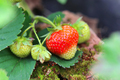Branch with bright ripening strawberries - PhotoDune Item for Sale