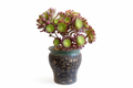 potted succulent plant isolated on white - PhotoDune Item for Sale