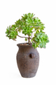 potted succulent plant isolated - PhotoDune Item for Sale