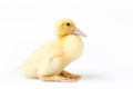 cute young muscovy duck isolated - PhotoDune Item for Sale