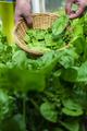 Gardner picking spinach in organic farm - PhotoDune Item for Sale