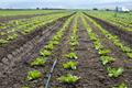 Lettuce farm on sunlight. - PhotoDune Item for Sale
