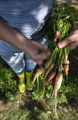 Carrots from small organic farm. Woman farmer hold multi colored bio carrots in a garden. - PhotoDune Item for Sale