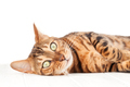 Bengal cat lying on white wooden floor - PhotoDune Item for Sale