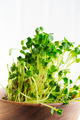 Home grown fresh organic microgreen in a wooden bowl on a light grey background. Close-up view - PhotoDune Item for Sale