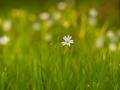 Spring flowers. Flowers of stella holostea - PhotoDune Item for Sale