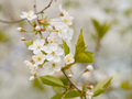Blooming white cherry in spring day, natural light, Macro - PhotoDune Item for Sale