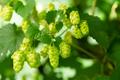 Flowering green hops closeup, nature light - PhotoDune Item for Sale