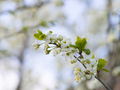 Blooming white cherry in spring day, sunlight, Macro - PhotoDune Item for Sale