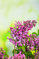Branch of fresh lilac on a green background - PhotoDune Item for Sale
