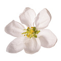 Cherry flower isolated on white - PhotoDune Item for Sale