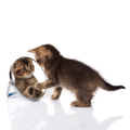 kitten with mirror on white background. kitten looks in a mirror. - PhotoDune Item for Sale