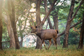Male sambar Rusa unicolor deer in Ranthambore National Park, Rajasthan, India - PhotoDune Item for Sale