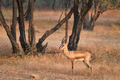 Indian bennetti gazelle or chinkara in Rathnambore National Park, Rajasthan, India - PhotoDune Item for Sale