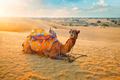 Indian camel in sand dunes of Thar desert on sunset. Jaisalmer, Rajasthan, India - PhotoDune Item for Sale