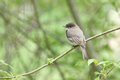 Eastern Phoebe Perched - PhotoDune Item for Sale