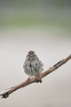Song Sparrow Interesting Pose - PhotoDune Item for Sale