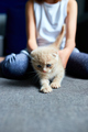 The child girl plays with a British little playful kitten at home. - PhotoDune Item for Sale
