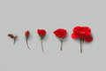 Five Red Roses on a grey background - PhotoDune Item for Sale