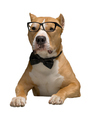 Staffordshire Terrier in a bow tie and glasses, isolated - PhotoDune Item for Sale