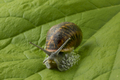 Land snail at a green leaf - PhotoDune Item for Sale